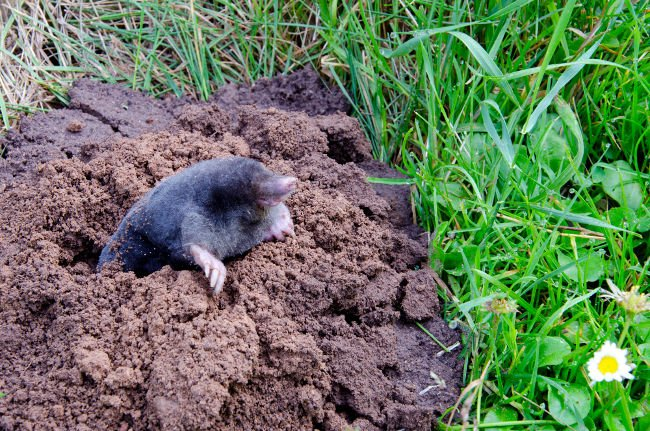 Mole burrowing out of mole hill