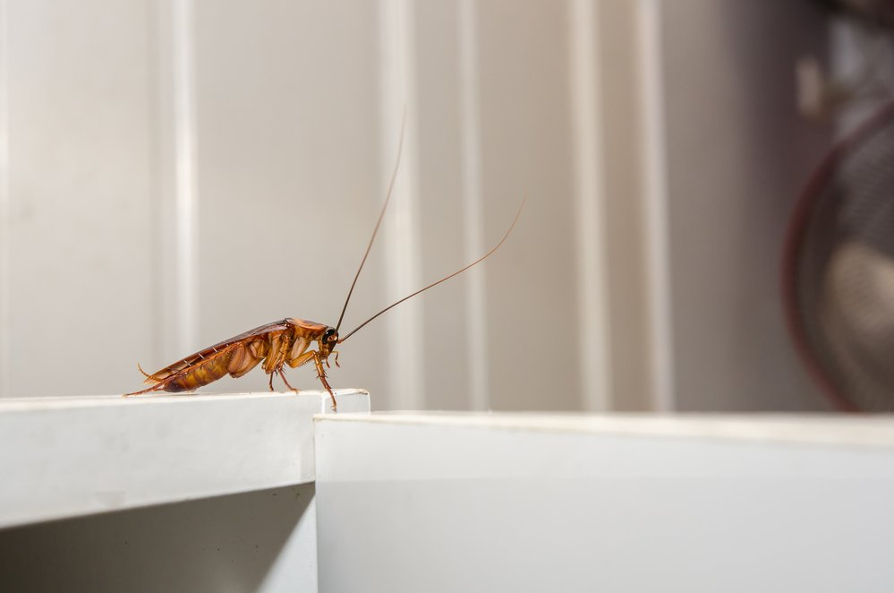 What is the lifespan of a cockroach?