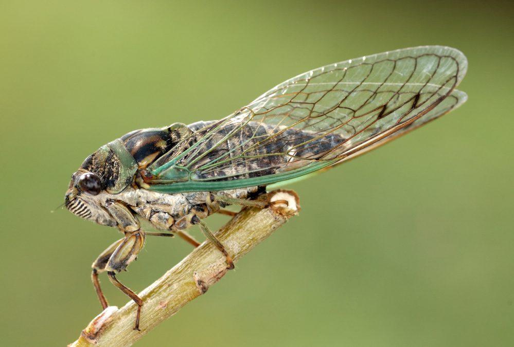 Cicada, perched on a stem.
