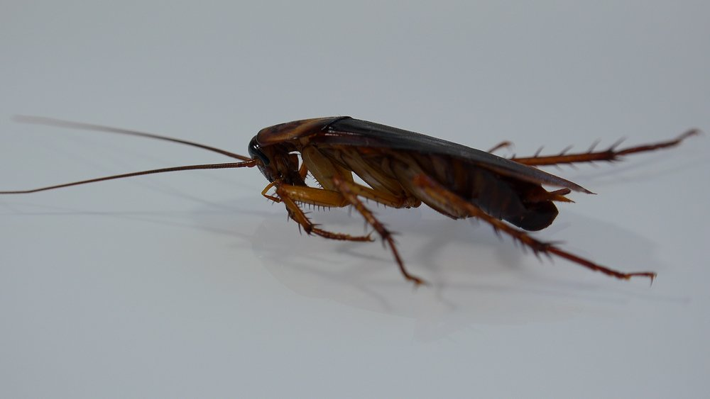 German Cockroaches vs. American Cockroaches