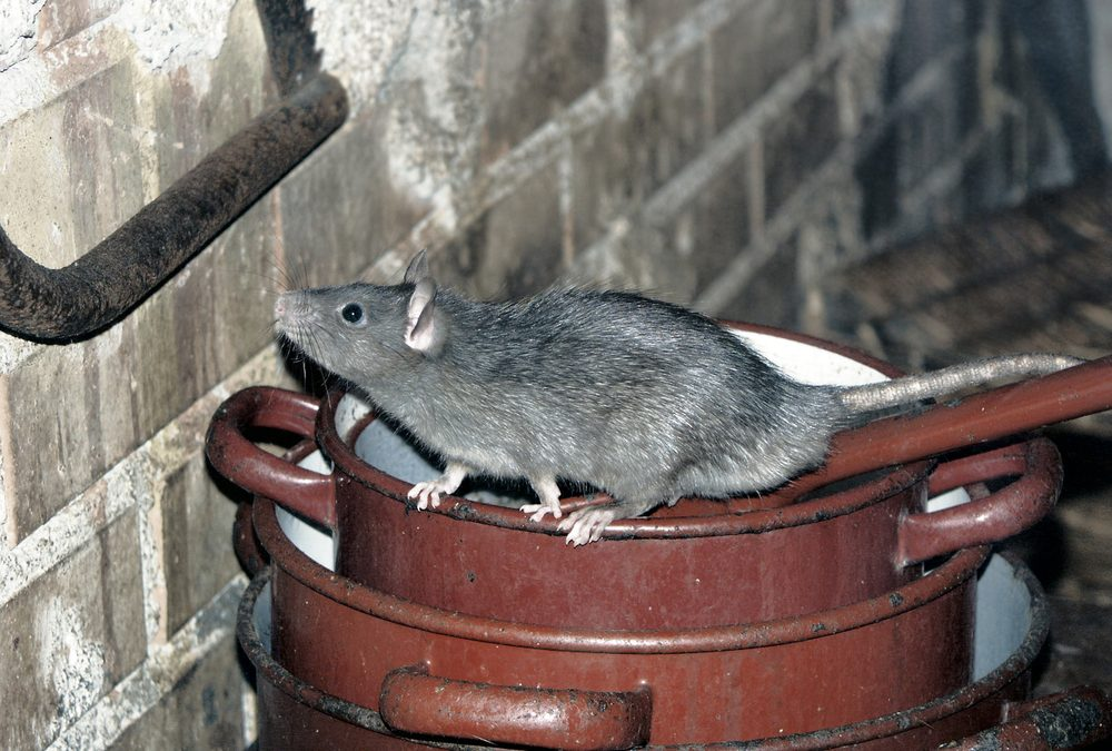 Rat on Cooking Pots