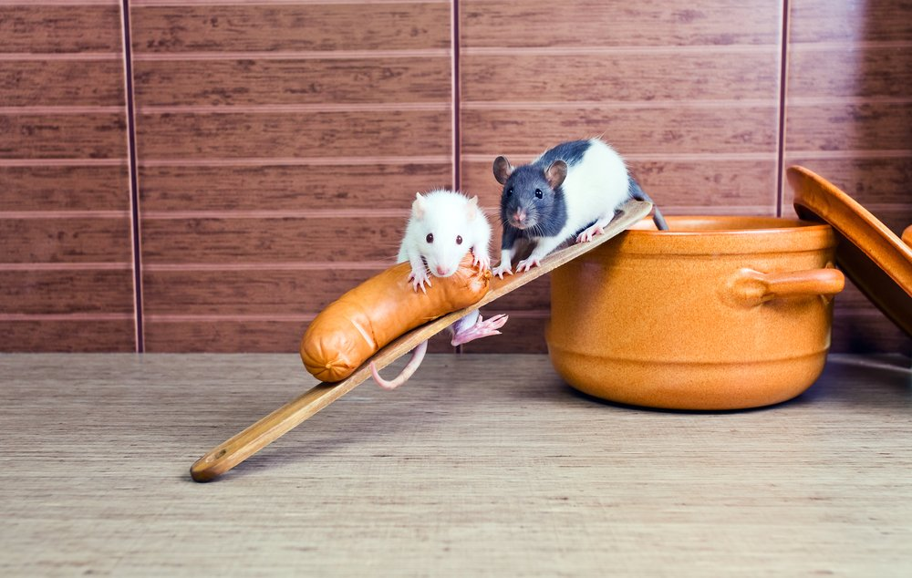 Rodents stealing food